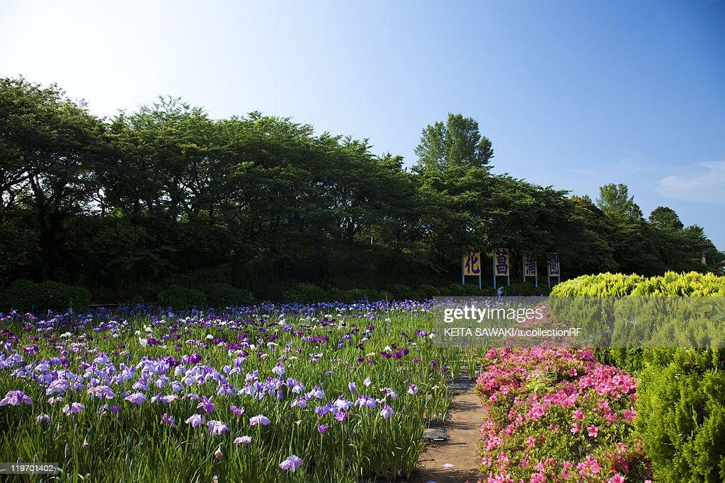 Japanese Iris and Azalea Flowers : Foto de stock