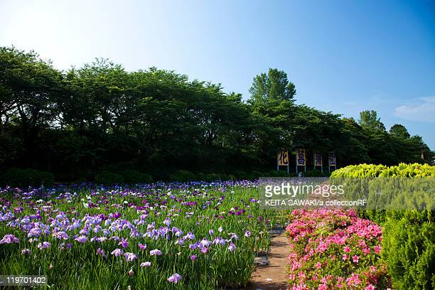 japanese iris and azalea flowers - fukui prefecture - fotografias e filmes do acervo