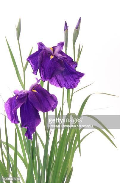 Japanese Irises Against White Background