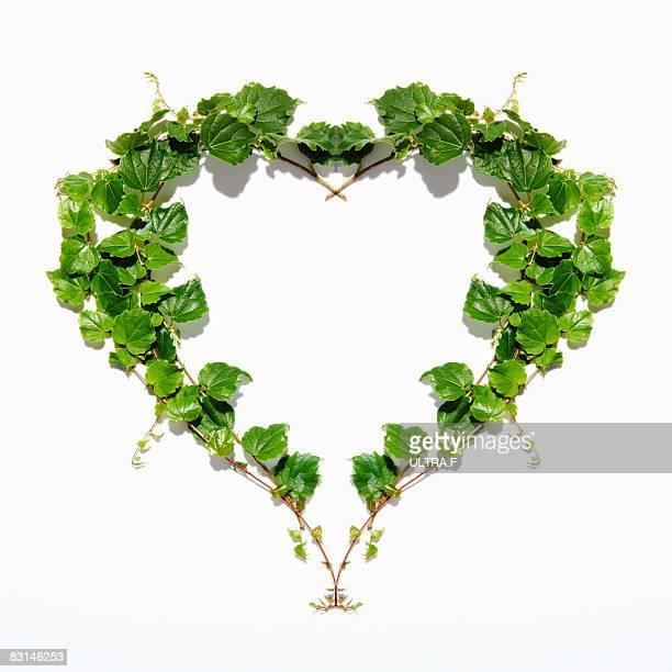 Japanese Ivy