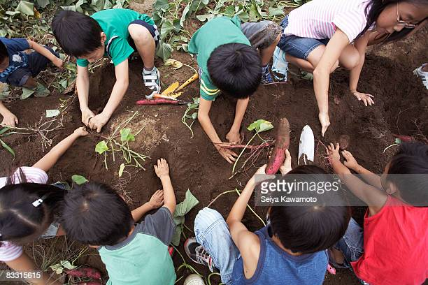 Japanese kids harvesting sweet potatoes