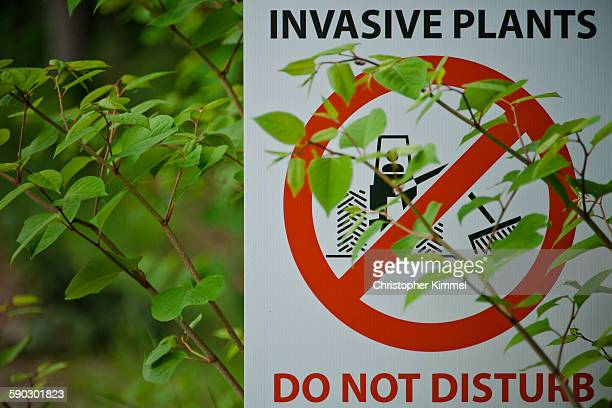 japanese knotweed partially covers an invasive plant sign. - japanese culture stock pictures, royalty-free photos & images