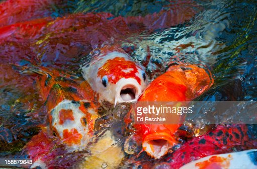 Japanese koi fish in an outdoor koi pond stock photo for Koi pond music