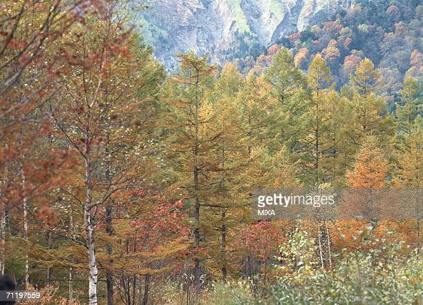 Japanese Larch forest