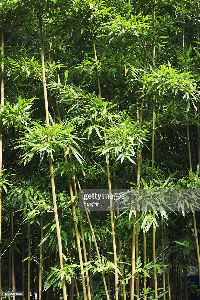 Japanische Grunen Junge Bambus Dicken Grunen Wachstum Vertikal Stock