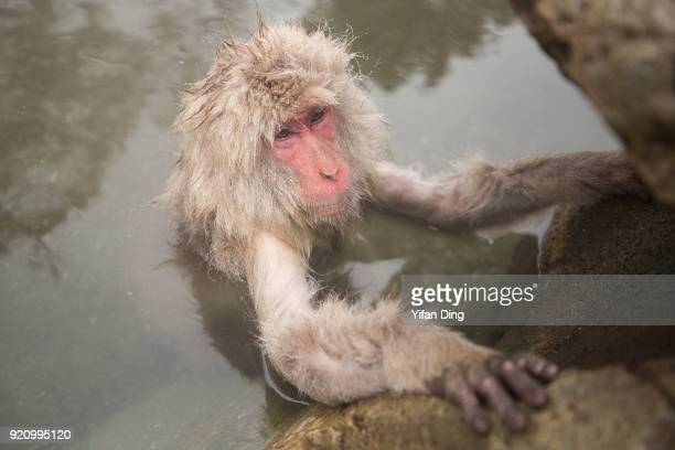 Japanese macaque also known as snow monkey relaxes in the hot spring bath at the Jigokudani Yaenkoen wild snow monkey park in Jigokudani Valley on...