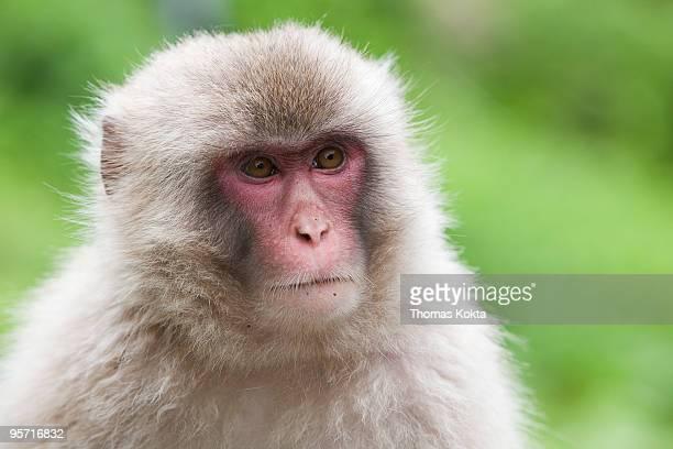 Japanese macaque (Macaca fuscata) close up