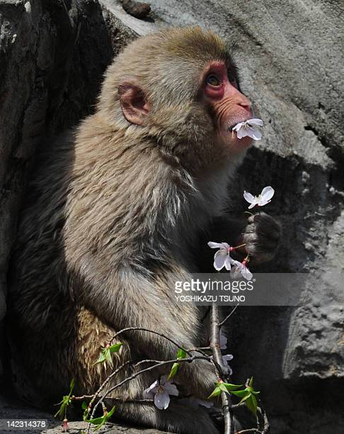 A Japanese macaque eats cherry blossom a Pictures   Getty Images