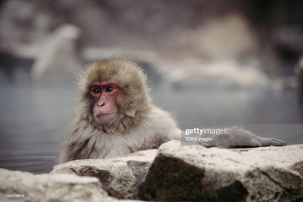 A Japanese macaque enjoys a hot spring. Jigokudani Yaen-koen... : News Photo
