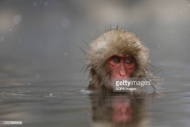 Japanese macaque enjoys a hot spring Jigokudani Yaenkoen was opened in 1964 and its known to be the only place in the world where monkeys bathe in...