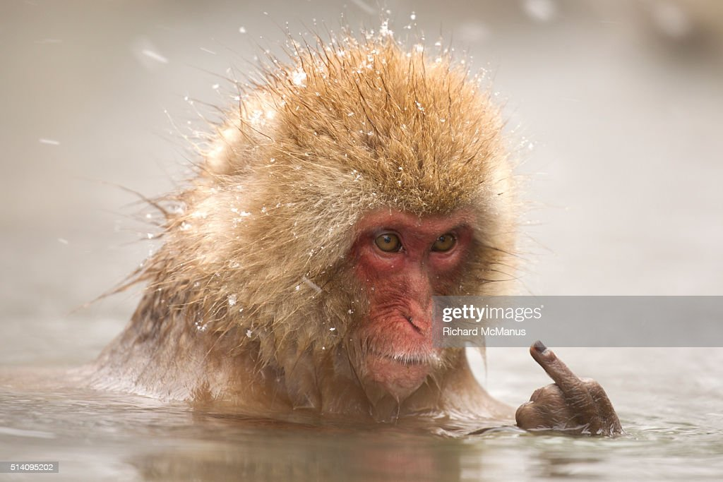 Japanese macaque giving the finger : Stock Photo