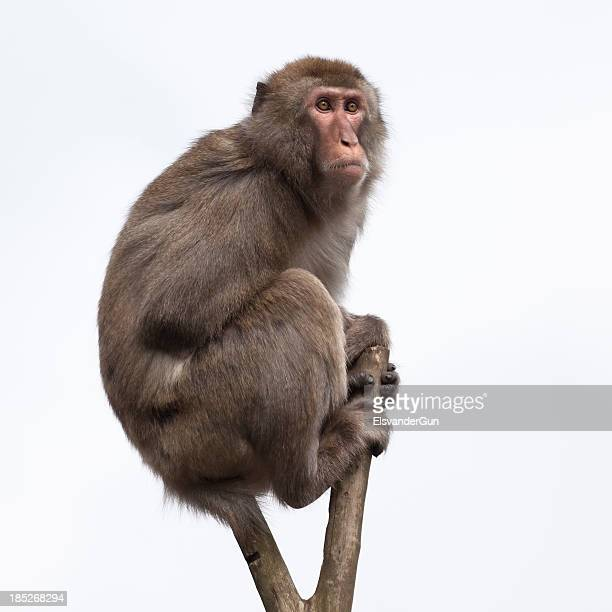 Japanese Macaque in a bare treetop