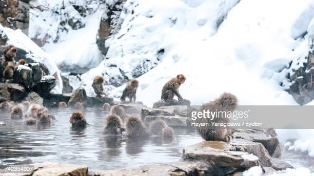 Japanese Macaque In Hot Spring During Winter