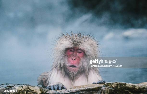 japanese macaque in hot spring - primate stock pictures, royalty-free photos & images