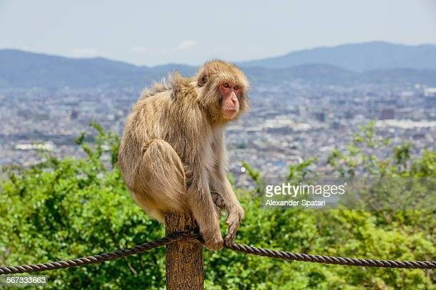 Japanese Macaque (Macaca fuscata) in Kyoto, Japan