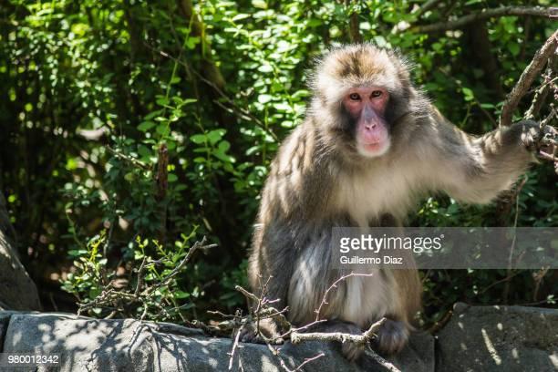 japanese macaque (macaca fuscata), japan - マカク属 ストックフォトと画像