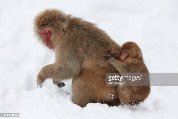 Japanese Macaque, Macaca fuscata, carrying young in the winter snow.