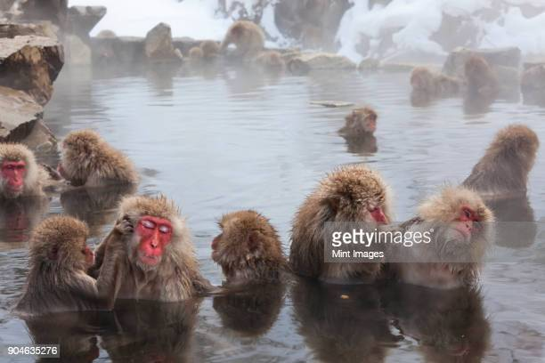 japanese macaque, macaca fuscata, in the winter snow, joshin-etsu national park, honshu, japan. - queimadura pele imagens e fotografias de stock