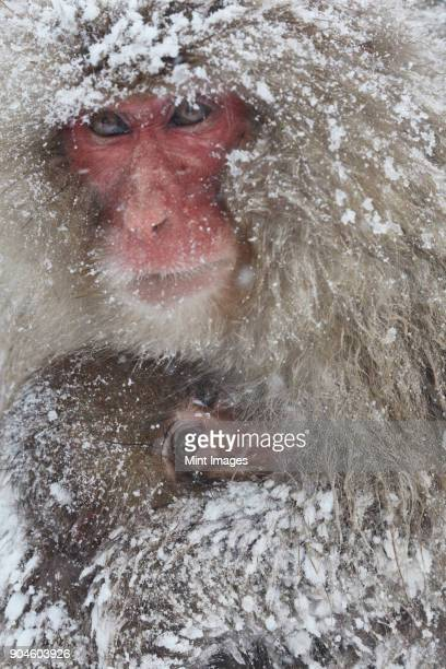 Japanese Macaque, Macaca fuscata, mother and young huddling together for warmth in the winter snow.