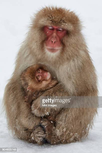 Japanese Macaque, Macaca fuscata, mother and young snow monkey huddling together for warmth in the winter snow.