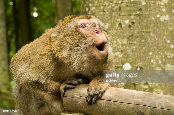 japanese macaque monkey looking surprised - primate stock pictures, royalty-free photos & images