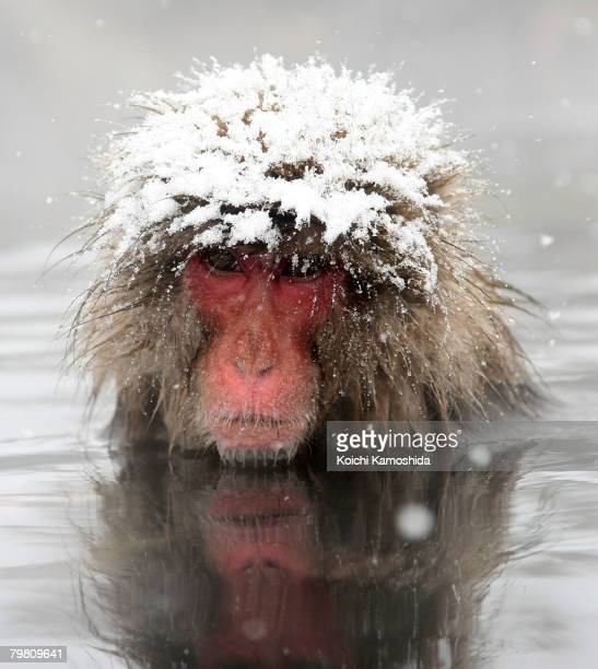 Japanese Macaque monkey relaxes in the hot spring at the Jigokudani Monkey Park on February 17 2008 in Jigokudani Nagano Japan This Macaque troop...
