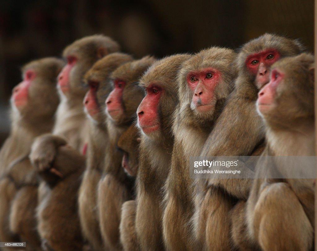 Japanese Macaques Form Huddle To Keep Warm : News Photo