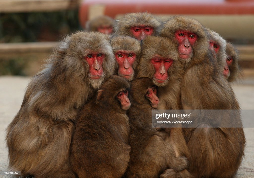 Japanese Macaques Form Huddle To Keep Warm : News Photo