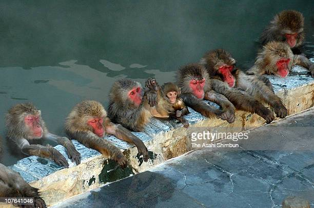Japanese Macaque monkeys relax in the hot spring at Hakodate Tropical Botanic Garden on December 1 2009 in Hakodate Hokkaido Japan