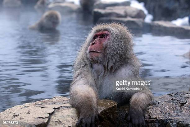 Japanese Macaque monkeys relax in the hot spring at the Jigokudani Monkey Park on January 30 2010 in Yamanouchi Japan This Macaque troop regularly...