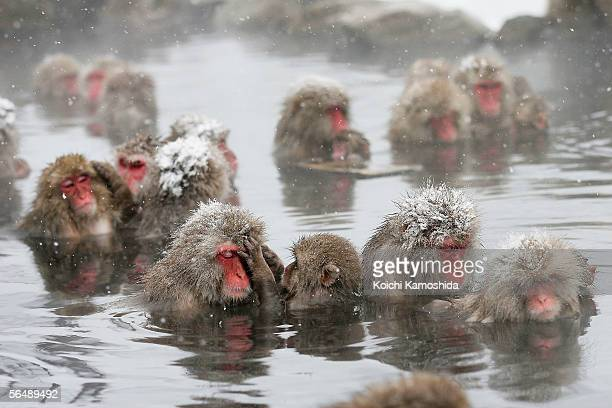 Japanese Macaque monkies relax in the hot springs at JigokudaniOnsen on December 27 2005 in Jigokudani Nagano Prefecture Japan where the nation has...