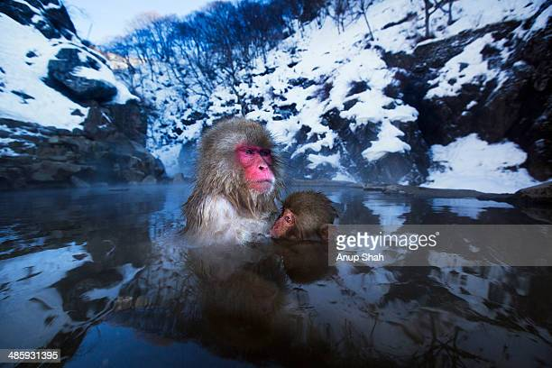 Japanese Macaque or Snow Monkey female and baby