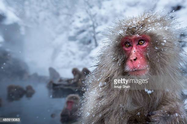 Japanese Macaque or Snow Monkey female