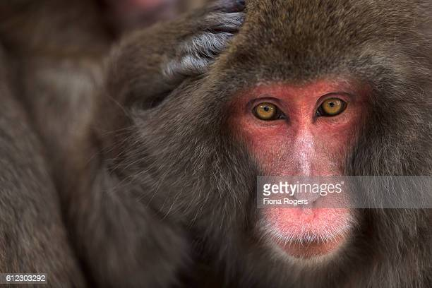 Japanese Macaque or Snow Monkey female portrait