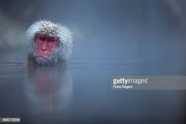 Japanese Macaque or Snow Monkey female submerged in a thermal hotspring spa pool