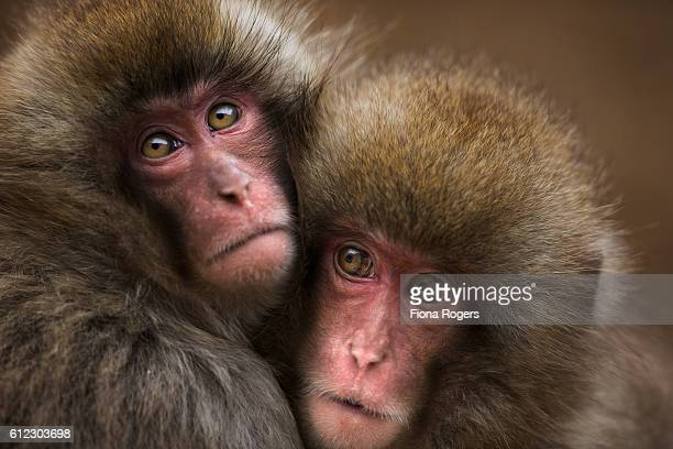 Japanese Macaque or Snow Monkey juveniles huddled together for warmth