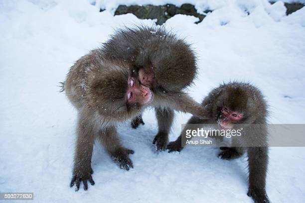 japanese macaque or snow monkey juveniles playing - 哺乳類 ストックフォトと画像