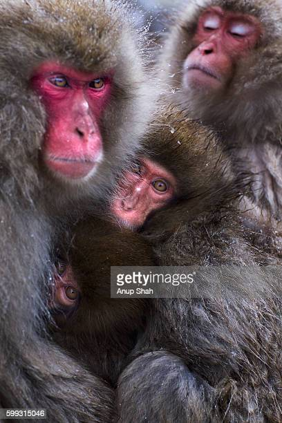 Japanese Macaque or Snow Monkeys huddled together for warmth