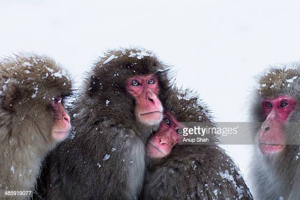 Japanese Macaque or Snow Monkeys huddling together