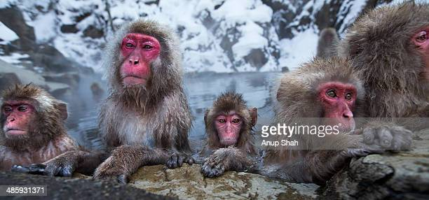 Japanese Macaque or Snow Monkeys resting