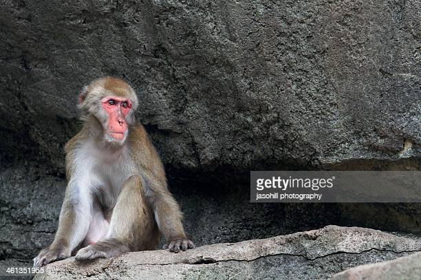 japanese macaque - 盛岡市 ストックフォトと画像