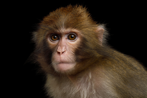 Japanese macaque 824864462