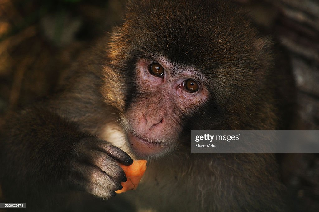 Japanese macaque portrait : Stock Photo