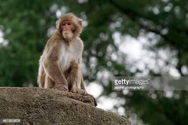 japanese macaque posing - 盛岡市 ストックフォトと画像