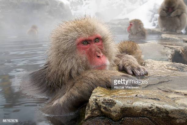japanese macaque (macaca fuscata) relaxing in jigokudani hot spring, nagano, japan - monkey paw stock photos and pictures