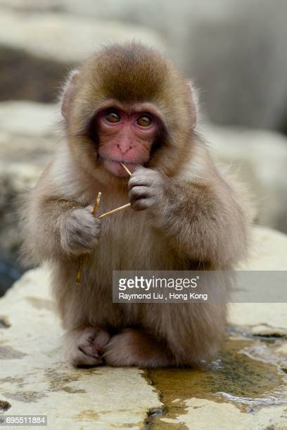 Japanese macaque - snow monkey