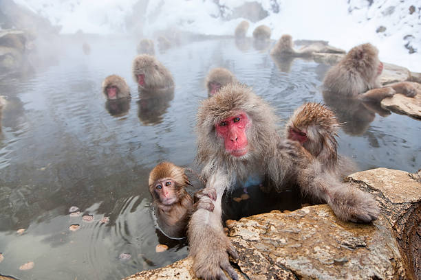Japanese Macaque Snow Monkeys In Hot Pool, Japan Wall Art