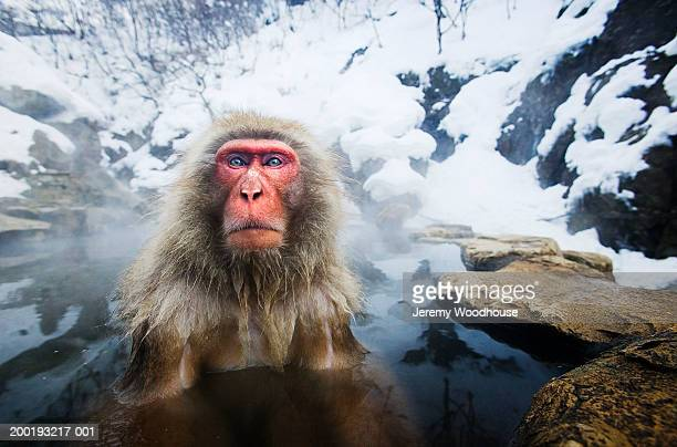 Japanese macaque (Macaca fuscata) soaking in hot spring