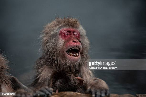 Japanese Macaque With Closed Eyes Relaxing In Hot Spring