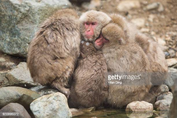 Japanese macaques also known as snow monkey relax in the hot spring bath at the Jigokudani Yaenkoen wild snow monkey park in Jigokudani Valley on...